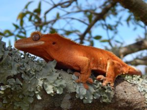 Crested Gecko Information & Care