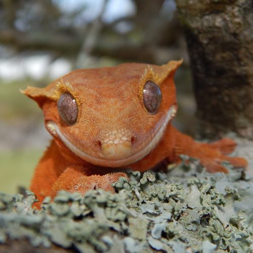 Crested gecko category
