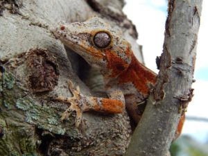 Gargoyle Gecko Information & Care