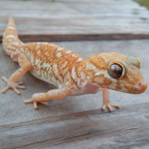 Panther Geckos
