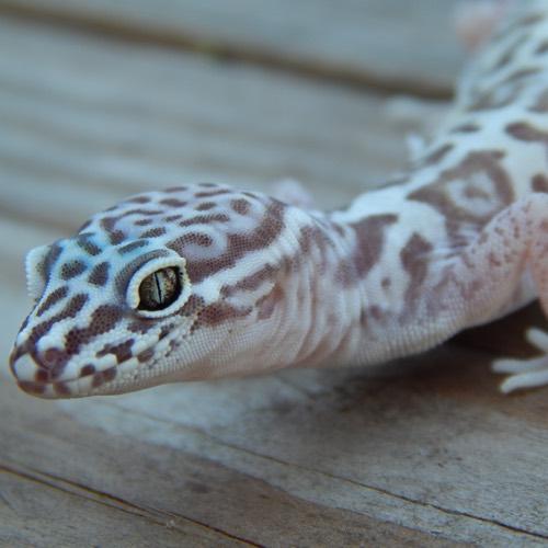 Western Banded Geckos